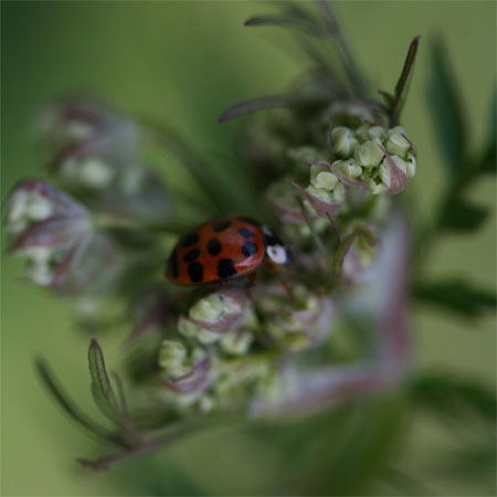Anthriscus sylvestris with ladybug